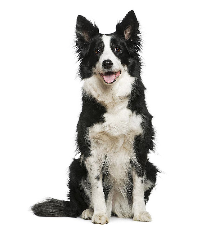 Cão da raça border collie
