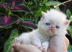 Arthur é um gato persa do Himalaia, 3 anos, que parece um cachorro de tão meigo e obediente, segundo o dono Sergio