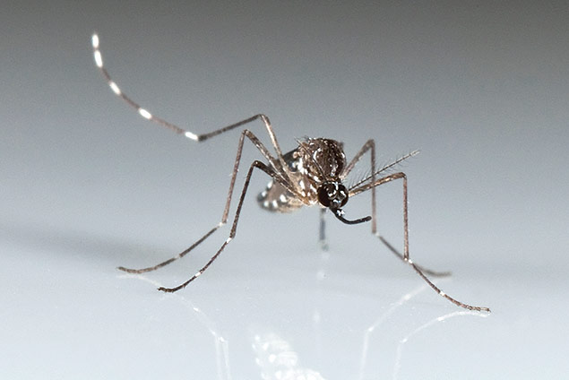 The Chikungunya, spread by mosquitoes such as this Aedes aegypti, causes fever and agonizing