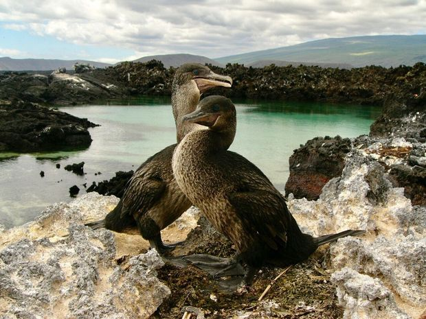 _Phalacrocorax harrisi_