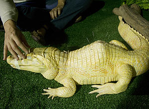 They are albino alligators born from the same mom about eight years ago. It is not a problem, though, for them to copulate with each other and become parents. Biologists say this is very common among reptiles.