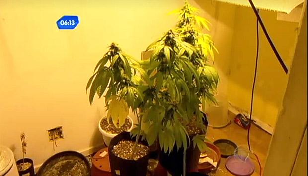 Plantas apreendidas em casa de publicitário, em imagem da TV Record