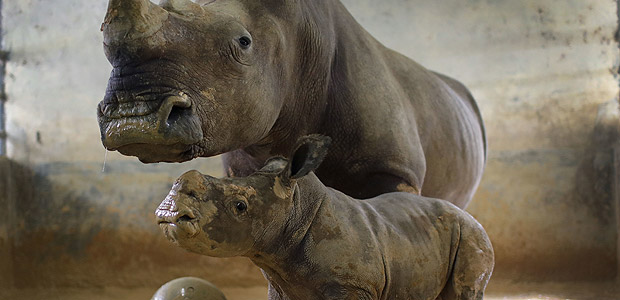 A six-week-old male White Rhino calf covered in mud, stands next to his mother, 32-year-old Donsa, at the Singapore Zoo on Thursday, Sept. 28, 2017. The Singapore Zoo is active with its breeding programs as part of its wildlife preservation efforts. This is the Singapore Zoo's 21st White Rhino calf born in captivity and of these 21, Dosa has given birth to 11 babies. (AP Photo/Wong Maye-E) ORG XMIT: SIN102
