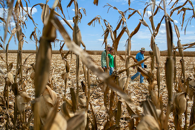 Corn is harvested at a farm in the Mato Grosso State of Brazil, July 24, 2015. Documents show that the American financial group and its Brazilian partners have spent millions to buy farmland despite a Brazilian ban on such large-scale deals by foreigners. (Marizilda Cruppe/The New York Times)