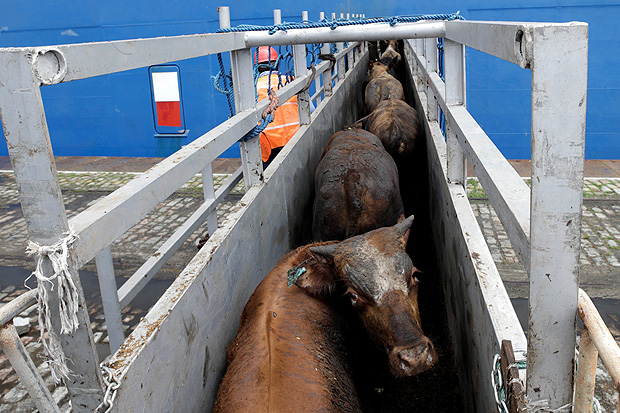 Cattle are loaded at the Lebanese flag ship NADA in the port of Santos, Brazil December 2, 2017. Twenty-seven thousand animals will be transported to Turkey's Mediterranean port of Iskenderun, according to Ecoporto terminal company. REUTERS/Paulo Whitaker ORG XMIT: PW13