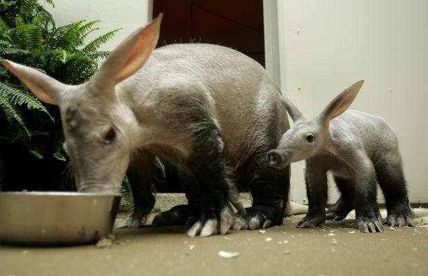ORG XMIT: 301301_1.tif Filhote de aardvark, um mam�fero raro, nasce em zool�gico dos Estados Unidos. One of the newest additions to the Brookfield Zoo, a female aardvark named Paatsy, right, sticks close to her mother, Gracie, during mealtime Thursday, May 25, 2006, at the zoo in Brookfield, Ill. It will still be several more weeks before Paatsy, born March 30, makes her debut before zoo visitors. Zookeepers and researchers were able to accurately predict Paatsy's date of birth by analyzing hormone levels in her mother's fecal samples, giving them time to prepare the birthing area for her arrival. (AP Photo/Jeff Roberson)