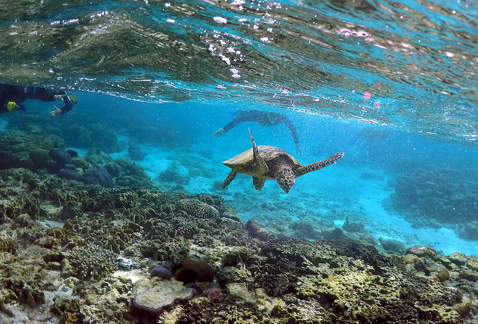 """Tourists snorkel near a turtle as it looks for food amongst the coral in the lagoon at Lady Elliot Island north-east of the town of Bundaberg in Queensland, Australia, June 9, 2015. The lagoon, which is occupied by turtles during high tide, is only accessible for snorkelling during this time. UNESCO World Heritage delegates recently snorkelled on Australia's Great Barrier Reef, thousands of coral reefs, which stretch over 2,000 km off the northeast coast. Surrounded by manta rays, dolphins and reef sharks, their mission was to check the health of the world's largest living ecosystem, which brings in billions of dollars a year in tourism. Some coral has been badly damaged and animal species, including dugong and large green turtles, are threatened. UNESCO will say on Wednesday whether it will place the reef on a list of endangered World Heritage sites, a move the Australian government wants to avoid at all costs, having lobbied hard overseas. Earlier this year, UNESCO said the reef's outlook was """"poor"""". REUTERS/David Gray PICTURE 9 OF 23 FOR WIDER IMAGE STORY """"GREAT BARRIER REEF AT RISK"""" SEARCH """"GRAY REEF"""" FOR ALL PICTURES ORG XMIT: PXP09"""