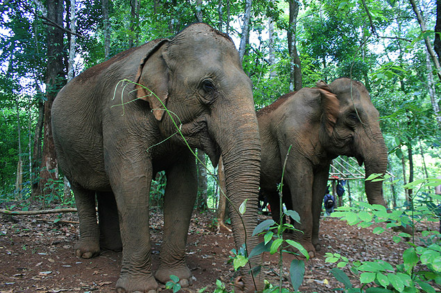 This June 2015 photo shows two of the elderly elephants that are part of the Mondulkiri Project in Mondulkiri Province in eastern Cambodia. The Mondulkiri Project aims to act as a sanctuary for elephants that previously worked for timber companies or as attractions in the tourists hub of Siem Reap. The project also seeks to give the local indigenous population jobs and curtail logging in the area. (Kristi Eaton via AP) ORG XMIT: NY758