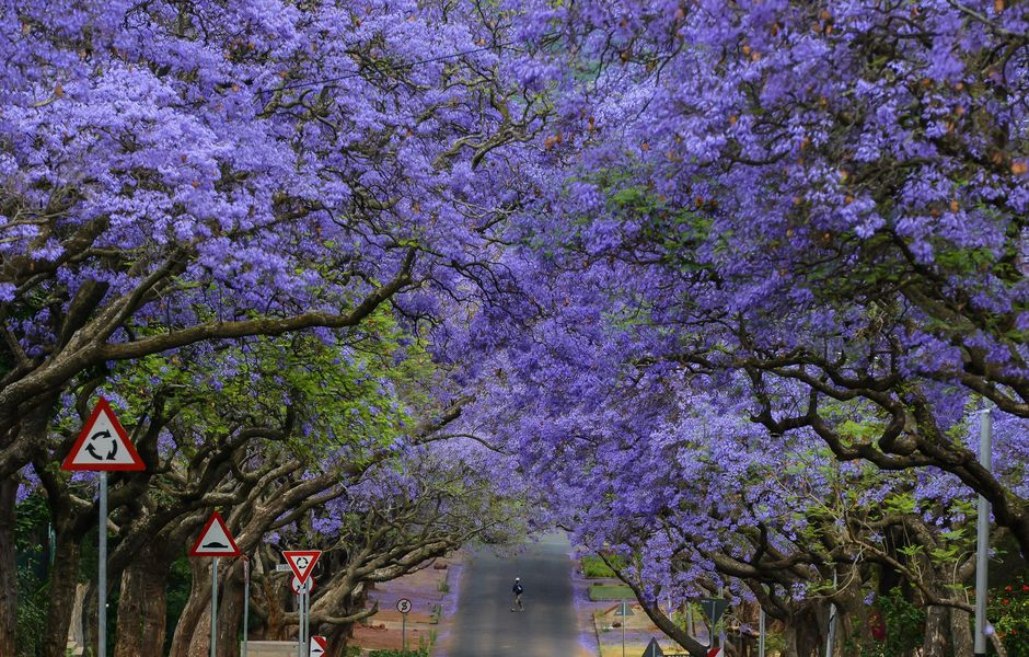 (151201) -- JOHANNESBURG, Dec. 1, 2015 (Xinhua) -- A man walks past Jacaranda trees in Pretoria, South Africa, on Oct. 15, 2014. Jacaranda trees are in full blossom in Pretoria from early October every year, which is popularly known as the Jacaranda City due to more than 80,000 Jacaranda trees planted as street trees and in parks and gardens. At the invitation of South African President Jacob Zuma, Chinese President Xi Jinping will pay a state visit to South Africa from Dec. 2 to 5, and chair the Forum on China-Africa Cooperation (FOCAC) in Johannesburg. South Africa is called Rainbow Nation, which is a not only a term to describe that different people could live peacefully in post-apartheid South Africa, but also an expression reflecting the beauty of the country. The 14 pictures, two of which represent one color of rainbow, will illustrate some basic facts of South Africa. (Xinhua/Zhai Jianlan) (zjy)