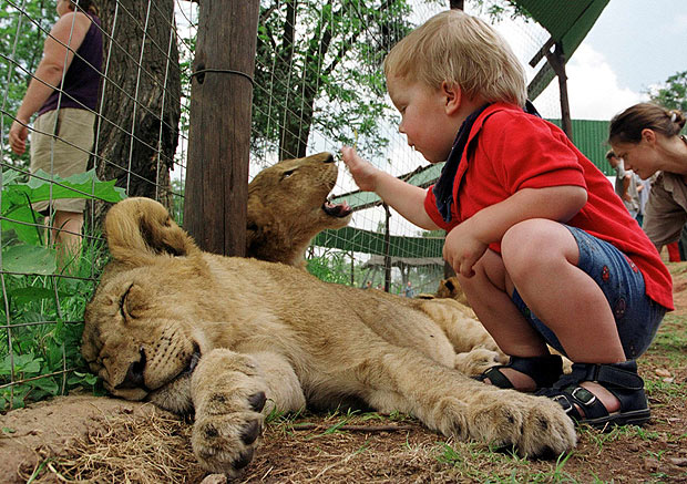ORG XMIT: 003301_1.tif Criança brinca com filhotes de leão em parque turístico de Lanseria, África do Sul: Dennis, 2, plays 19 January 2000 with two six-month old lion cubs at a lionpark in Lanseria some 25 km west of Johannesburg, South Africa. The toddler spent the day with his parents in the park which is a popular tourist destination for visitors to South Africa.AFP PHOTO Odd ANDERSEN