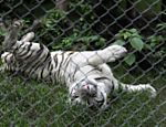 Tigre branco brinca em zoolgico na cidade de Jayaque, em El Salvador