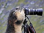 Marmota curiosa tenta &quot;fotografar&quot; com cmera na ustria