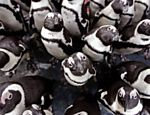 Pinguins se juntam para receber almoo na frica do Sul