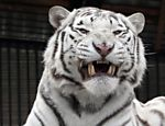 Tigre branco exibe dentes a fotgrafo em zoo da Rssia
