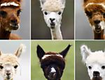 Alpacas ganham cortes de cabelo