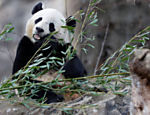 Bao Bao come bambu durante evento de despedida no Zoológico Nacional, em Washington, capital dos EUA; o panda será transferido para a China