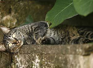 RIBEIRÃO PRETO, SP, BRASIL, 17-03-2011 : Gato no condominio onde ocorreu a chacina de gatos. Dez gatos foram encontrados mortos dentro de um condomínio em região nobre de Ribeirão Preto. A suspeita é que os animais tenham sido envenenados por uma substância conhecida como chumbinho. O caso é investigado pela Delegacia de Animais de Ribeirão Preto. ( Foto: Edson Silva/Folhapress) ***REGIONAIS ***