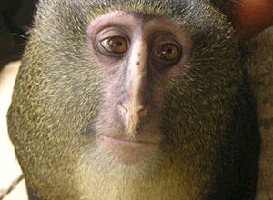 Uma nova espécie de macaco foi encontrada na África