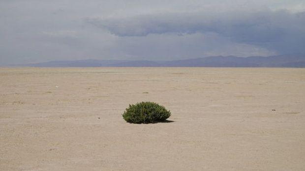 """O """"cauchi"""" é uma das poucas plantas no local suporta condições extremas, porque absorve sal"""