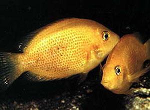 Peixes-mexerica em aquário