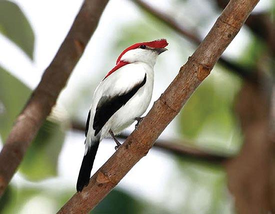 Soldadinho-do-Araripe, espécie de ave ameaçada de extinção, só encontrada no Ceará