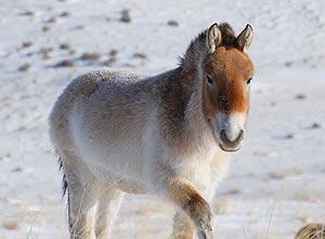Cavalo de Przewalski, na Mongólia, que é parente distante do cavalo de 700 mil anos cujo genoma foi sequenciado