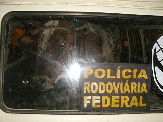 PRF prende dois homens que transportavam vaca dentro de uma Kombi roubada no Rio Grande do Sul