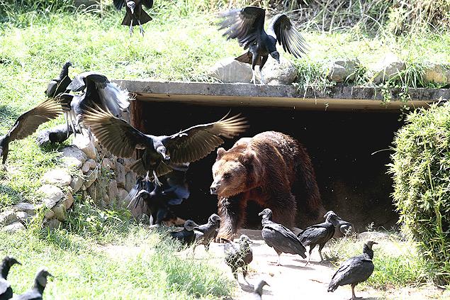 O urso Dingo deixa a caverna para espantar os urubus no zoológico