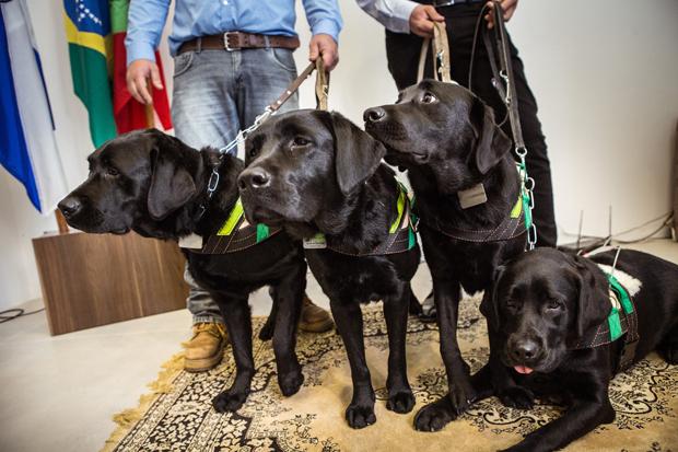 Cães da primeira ninhada da escola de cães-guia Helen Keller, em Balneário Camboriú (SC)