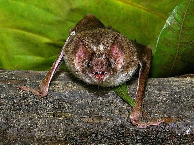 Imagem de morcego, um dos animais capazes de transmitir raiva ao homem