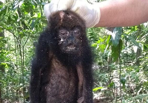 Primeiro macaco bugio encontrado morto no Horto Florestal, em outubro do ano passado