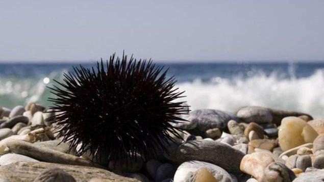 Espécies de ouriço-do-mar brasileiras não são venenosas, mas espinhos podem penetrar profundamente a pele