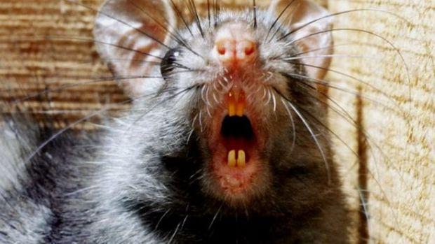 Pulgas de roedores têm sido historicamente culpadas pela transmissão da peste bubônica