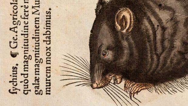 Ilustração mostra rato preto; a autoria é de Conrad Gesner, naturalista que morreu pela peste bubônica