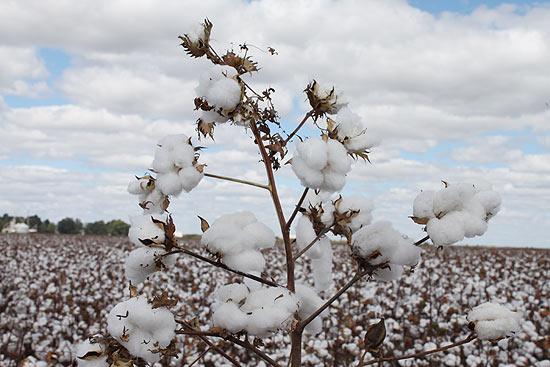 Produção de algodão em Luís Eduardo Magalhães, no oeste da Bahia