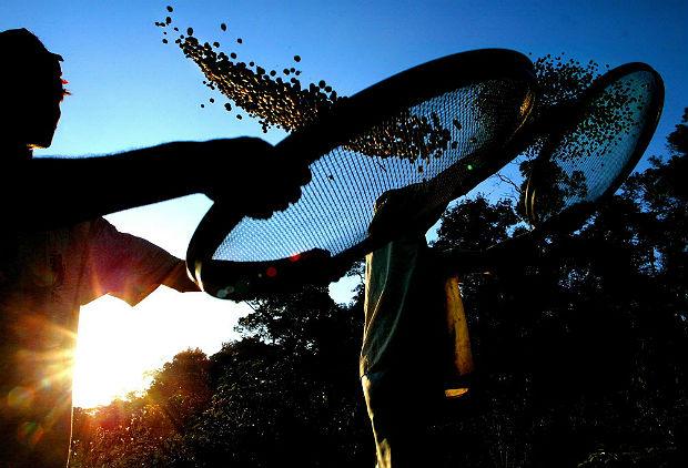 """ORG XMIT: 510901_1.tif Trabalhador rural seleciona grãos de café, em fazenda cafeeira de Varginha (MG). ACOMPANA NOTA: """"275 ANOS DE LA LLEGADA DEL CAFE A BRASIL, EL GRAN MOTOR DE SU DESARROLLO"""" Trabajadores rurales selecionan con sus cribas granos de café del tipo arébico, el 23 de setiembre de 2003, en una hacienda cafetalera exportadora cerca de la ciudad de Varginha, sur del Estado de Minas Gerais, Brasil. El café, llegado hace 275 años a Brasil, transformo a este pais en el mayor productor y exportador de café del mundo (32% del mercado internacional) y con la perspectiva de sacar su mayor zafra histúrica en 2004. El café fue ápice del poder economico, polótico y hasta del desarrollo cultural de Brasil. Trajo a los cerca de 4 millones de inmigrantes, europeos (principalmente italianos) y japoneses, que llegaron a las haciendas cafetaleras para suplir la mano de obra de la esclavitud, abolida en 1888. AFP PHOTO/Mauricio LIMA"""