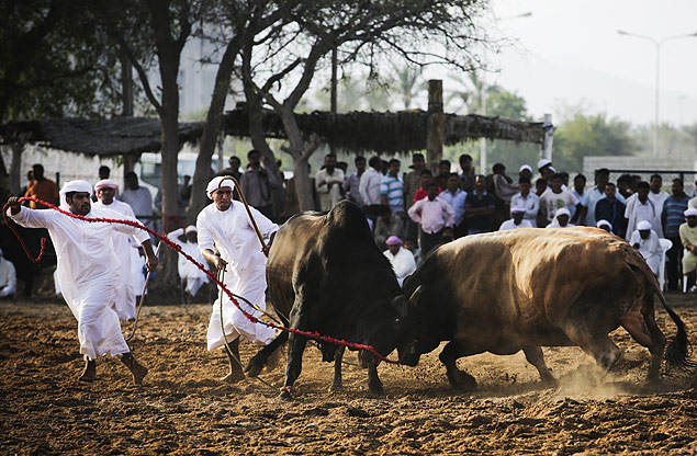 Alguns acreditam que os portugueses levaram as touradas para a costa omani no século 16; rinha de touro em Al Fujayrah