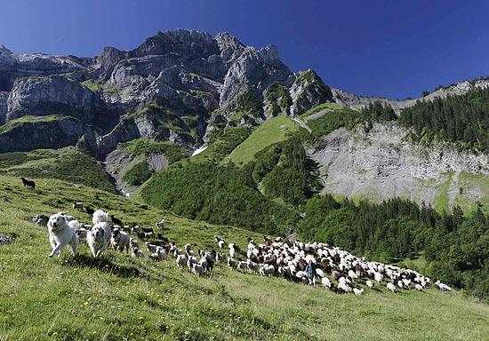 Ovelhas e cães pastores em Les Diablerets (Suíça), onde dispositivo faz caprinos enviarem SMS automático