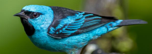 Sai- azul (Dacnis cayana)
