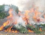 Polícia Federal destrói 412 mil pés de maconha no sertão de Pernambuco <a href=