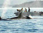 O trabalho de encontrar e analisar as fezes ajuda a entender os motivos da diminuição dos grupos de baleias na região <a href=
