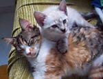 Belina --chamada carinhosamente de Nina--, 7 meses e Sasha, 4 meses, são duas gatas peraltas, segundo a dona Ana Pala Leite, de Salvador (BA).