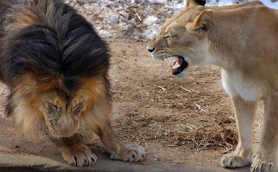 Leão briga com filhote e leva 'bronca' de leoa em zoológico
