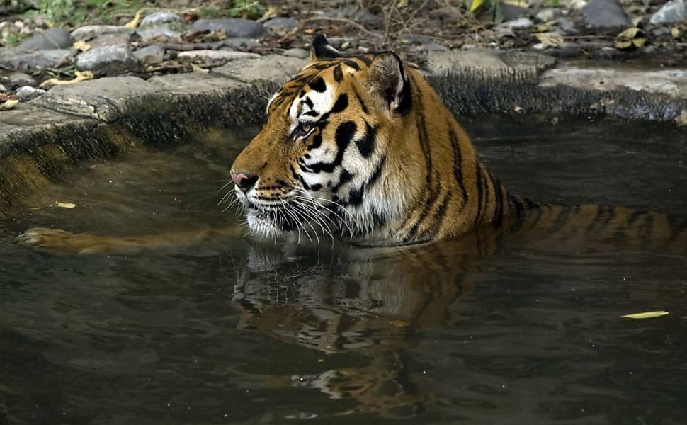 Tigres e Leões