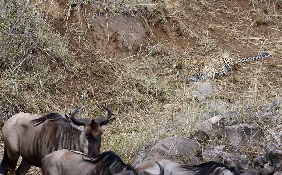 Leopardo se aproxima de antílopes