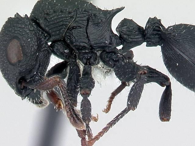 Espécies de formigas conhecidas