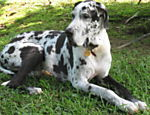 O dog alemão Helmutt, 10, é um cachorro que só falta falar, de acordo com o dono Carlos dos Santos, de Curitiba (PR).