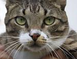 Autêntico brazilian short hair, o gato Mickey, 1, gosta de sorvete de coco e de caçar passarinhos.