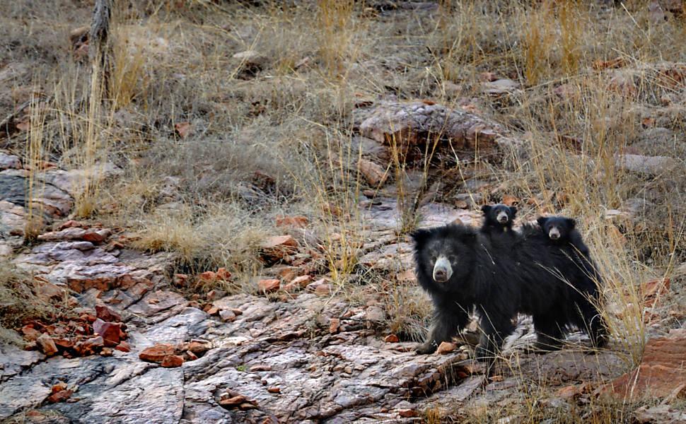 Ursa enfrenta dois tigres com filhotes nas costas