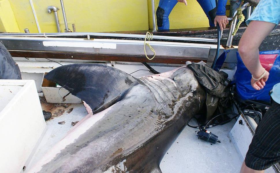 Tubarão de 500 kg pula em barco na África do Sul